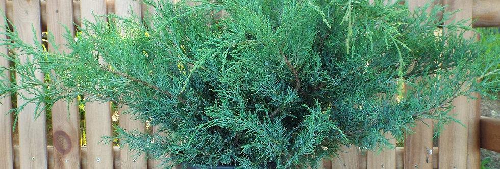 Можжевельник средний pfitzeriana Glauca (Juniperus media Pfitzeriana Glauc