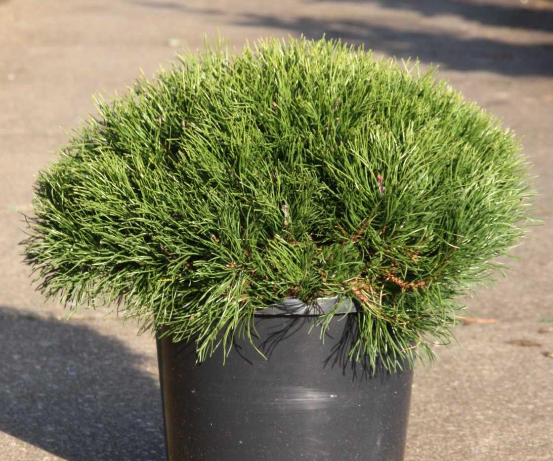 Pinus mugo Pumilio_1.jpg