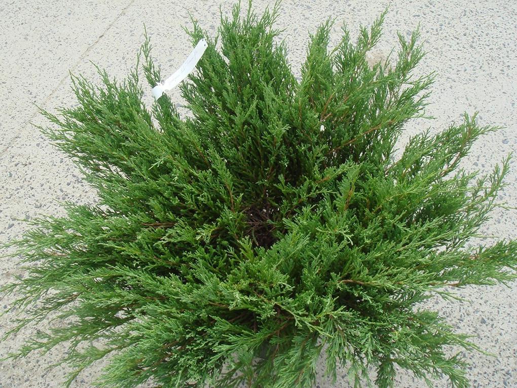 Juniperus sabina_1.jpg