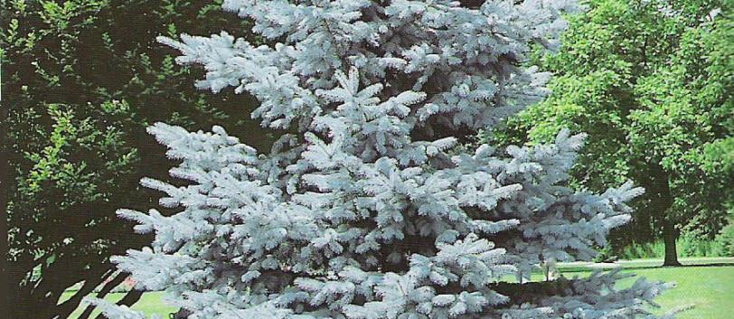 Picea pungens Blue Mountain_3.jpg