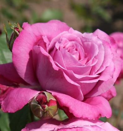 Rosa Blue Parfum2.jpg