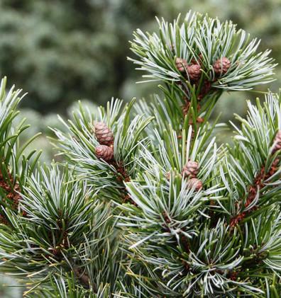 Pinus Parv Negishi_2.jpg