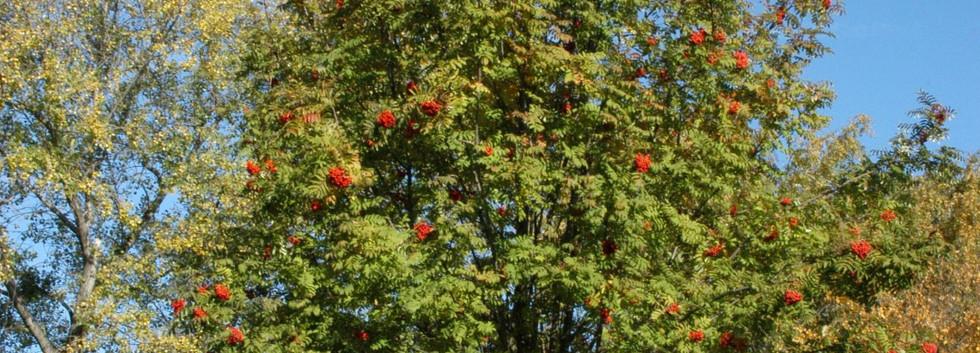 Sorbus aucuparia Edulis_1.jpg