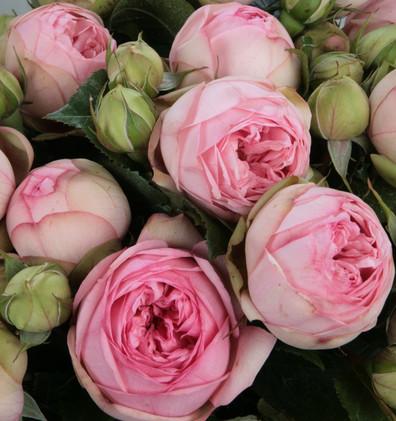 Rosa Charming Piano1.jpg