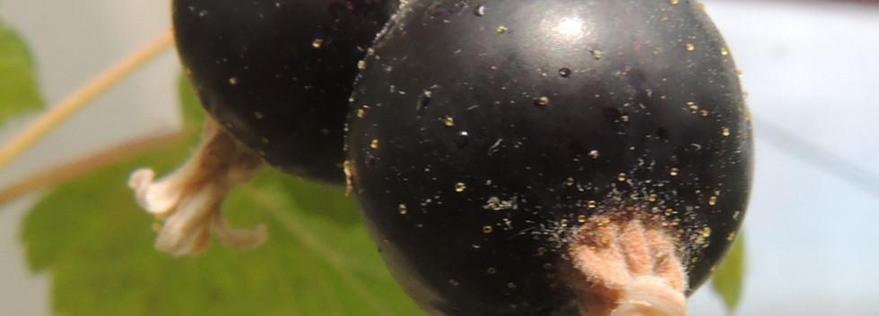 Ribes nigr. 'Titania'.jpg