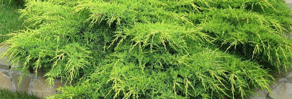Можжевельник средний 'Pfitzeriana Aurea' (Juniperus  media 'Pfitzeriana Au
