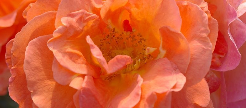 Rosa Morning Sun3.jpg