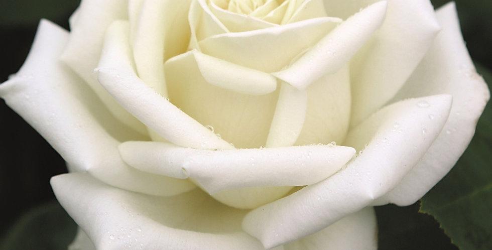 Rosa tea hybrid Polarstern