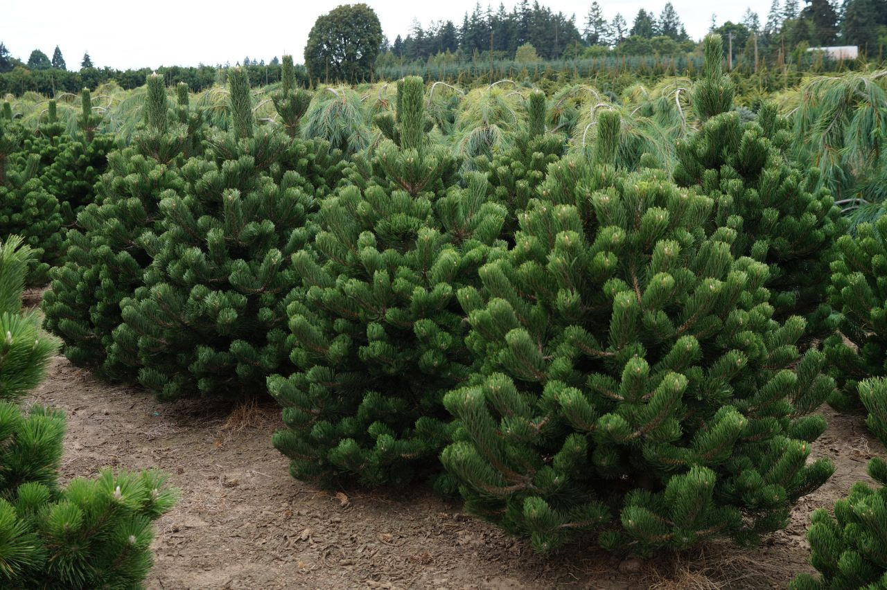 Pinus nigra Oregon Green1.JPG