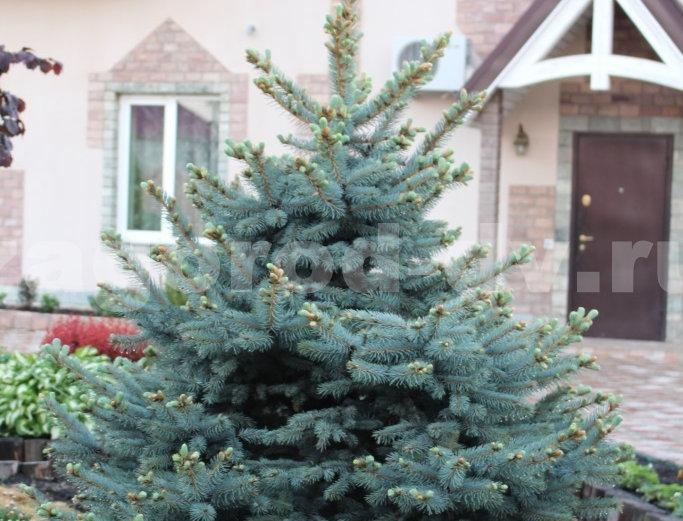 Ель колючая Глаука  Picea pungens Glauca
