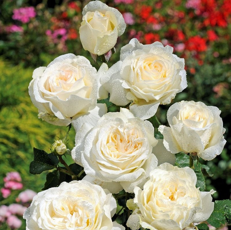 Rosa Irina3.jpg