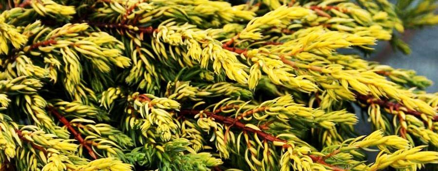 Juniperus communis Goldschatz_2.jpg