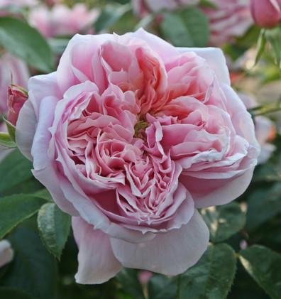 Rosa Schone Maid4.jpg