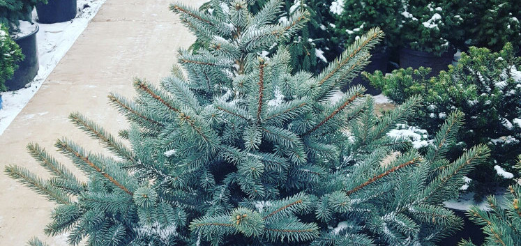 Picea pungens Misty Blue_1.jpg