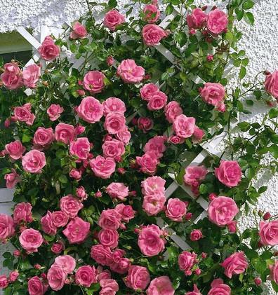 Rosa Lawinia3.jpg