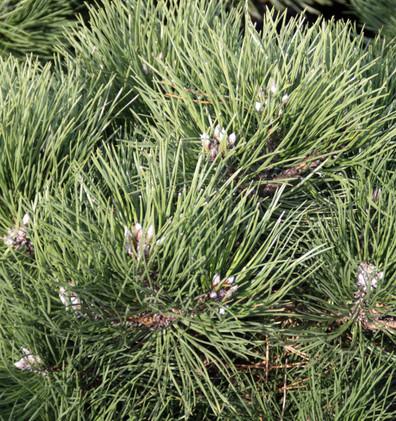 Pinus nigra Nana_2.jpg