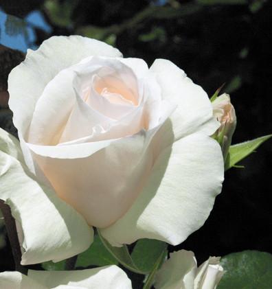 Rosa Schneewalzer2.jpg