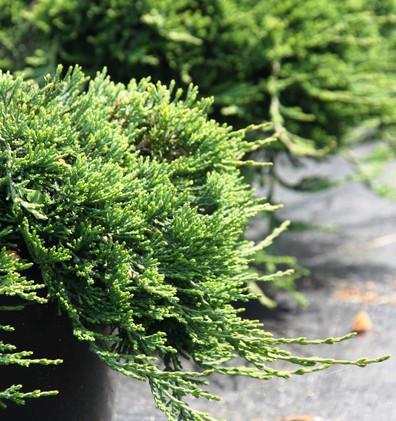 Juniperus hor Wiltonii_2.jpg