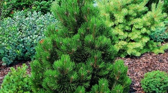 Pinus leucodermis Malinki_3.jpg