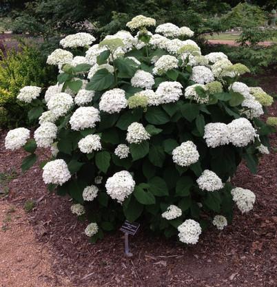 Hydrangea arborescens Annabelle_1.jpg