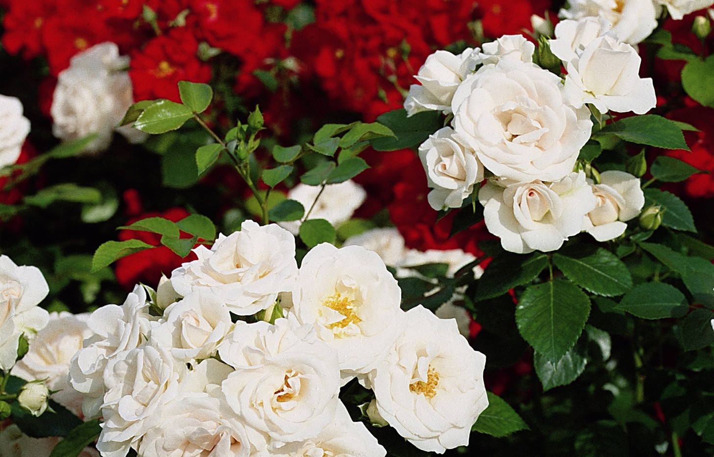 Rosa Aspirin4.jpg