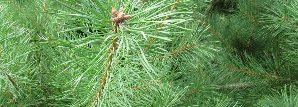Pinus Sylvestris Norska2.jpg
