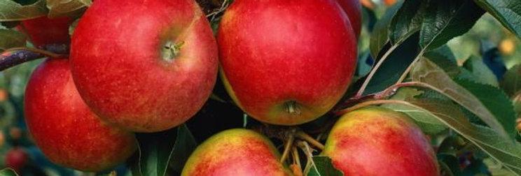 Яблоня домашняя Elstar Malus domestica Elstar