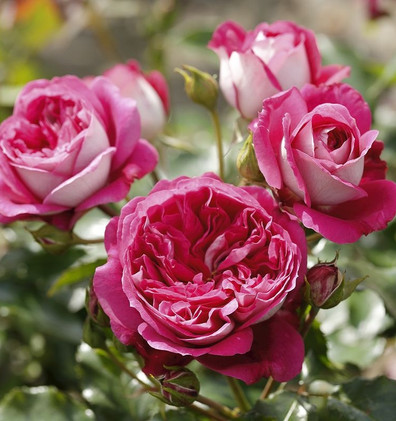 Rosa Maxim3.jpg