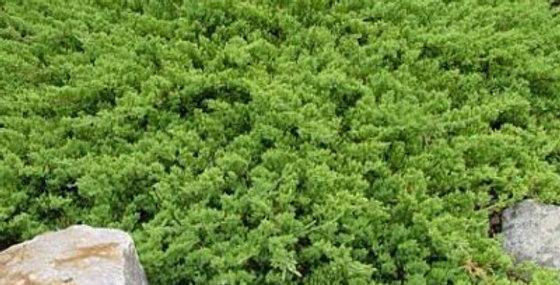 Можжевельник лежачий Нана Juniperus procumbens Nana