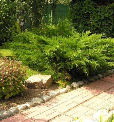 Juniperus media Mint Julep_3.jpg