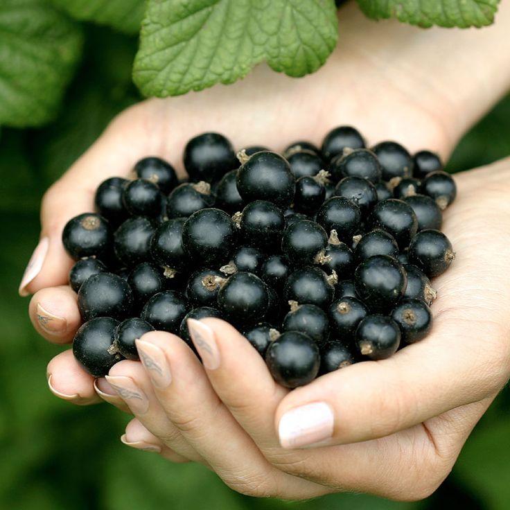 Ribes nigr. 'Titania'..jpg