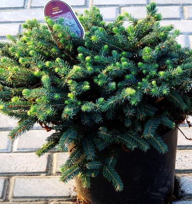 Picea pungens Waldbrunn_1.JPG