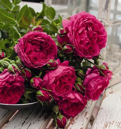 Rosa Soul1.jpg