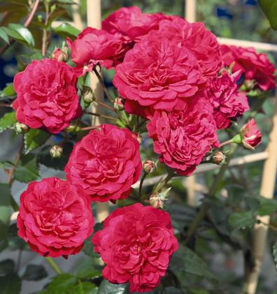 Rosa Starlet Lola1.jpg