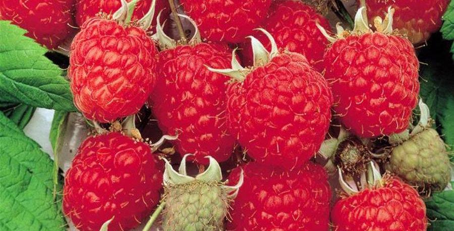 Малина Херитидж ремонтантная Rubus idaeus Heritage