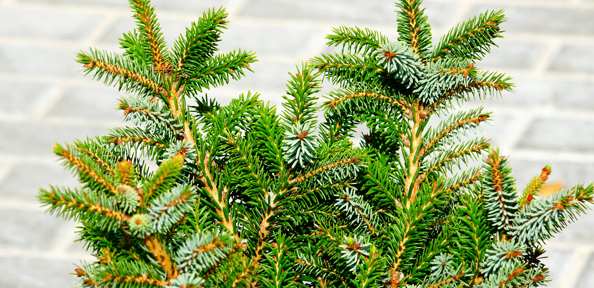 Picea pungens Sonia_2.JPG