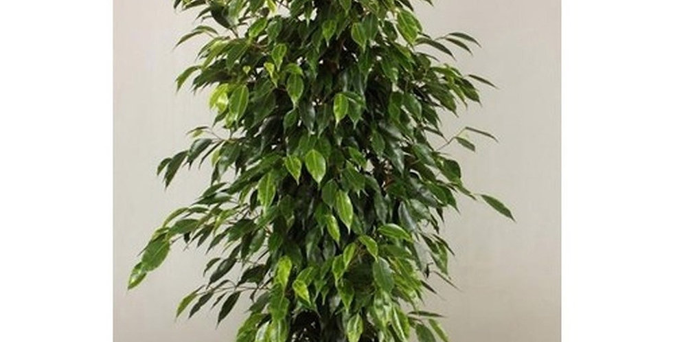 Ficus Anastasia
