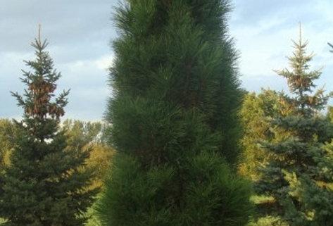 Сосна чёрная Pinus nigra 'Green Tower'