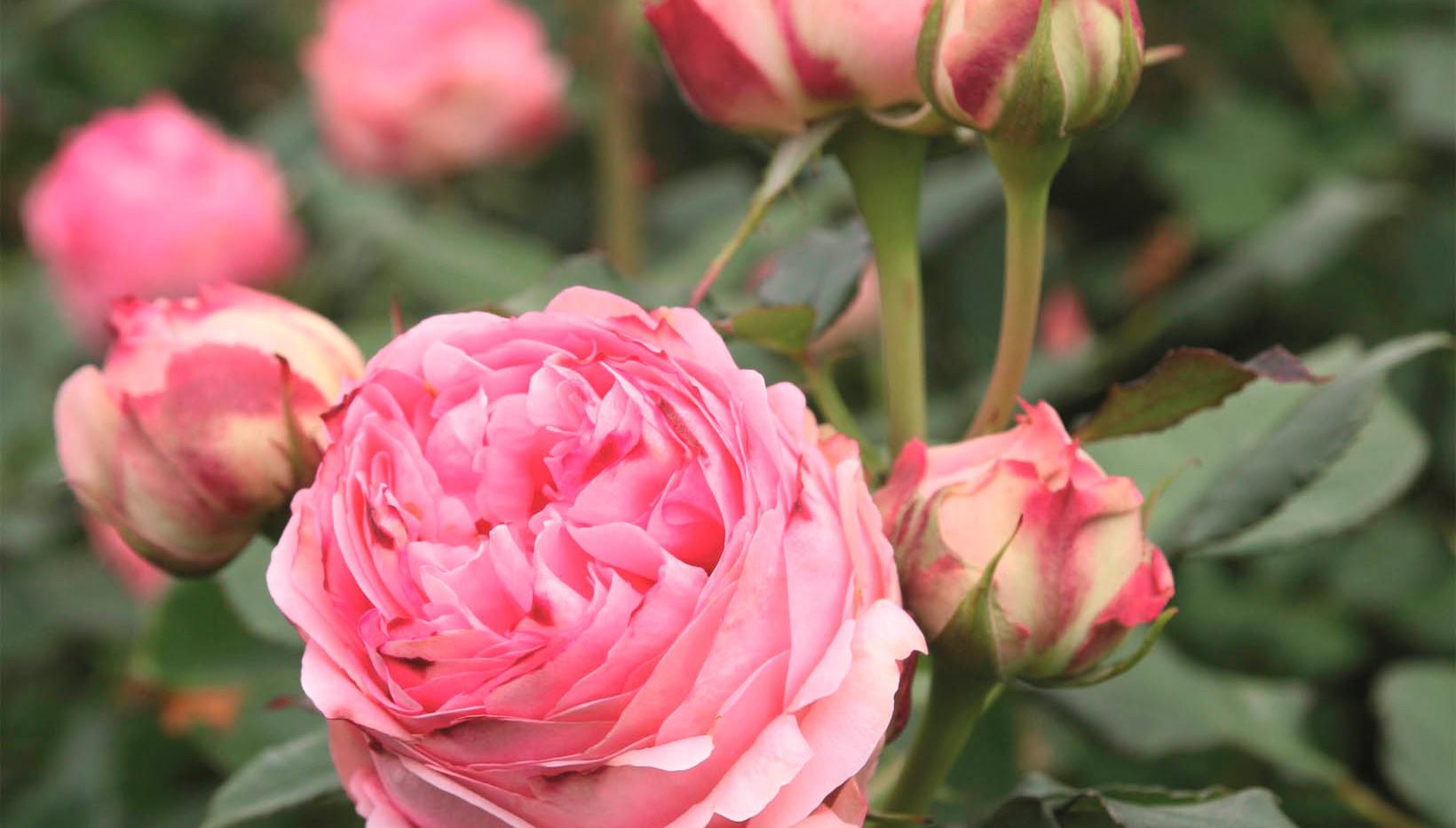 Rosa First Lady_1.jpg