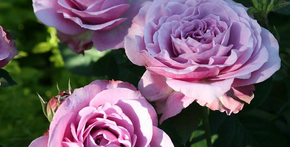 Rosa miniature Lavender Ice