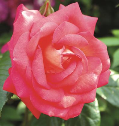 Rosa Shogun2.jpg