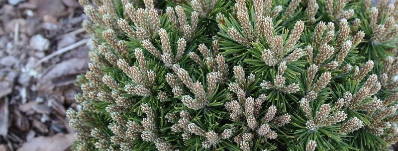 Сосна горная Moпс  (Pinus mugo Mops )