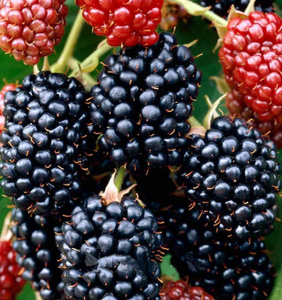 Rubus frut. 'Thornfree' (2).jpg