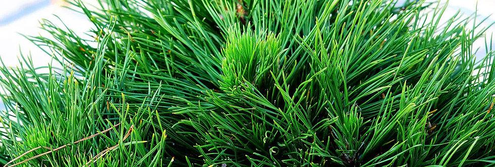 "Сосна черная ""Bambino""  (Pinus nigra Bambino)"