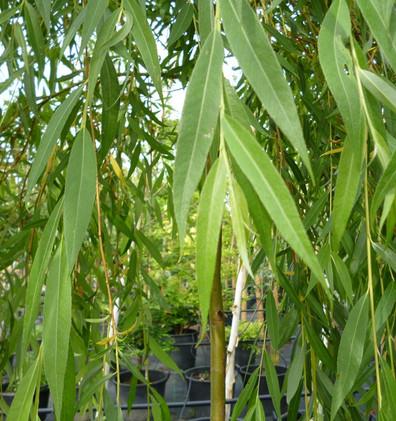 Salix sepulcralis Chrysocoma_2.jpg