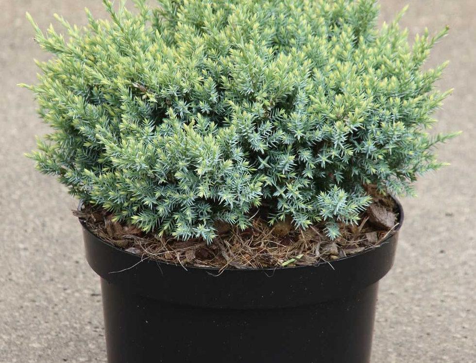 """Можжевельник чешуйчатый """"Холгер""""  (Juniperus squamata Holger)"""