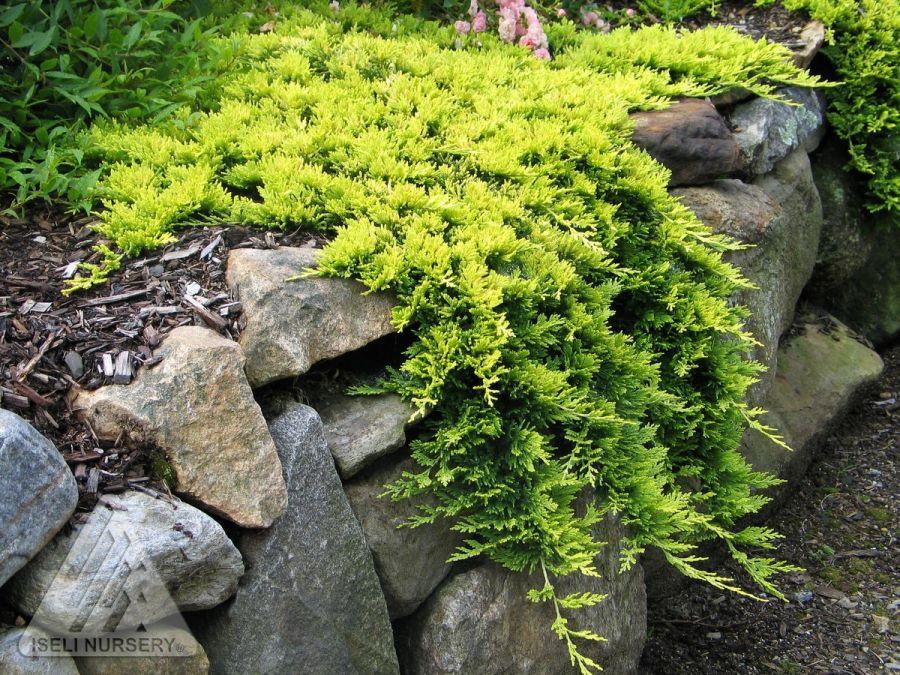 Juniperus hor Golden Carpet_3.jpg
