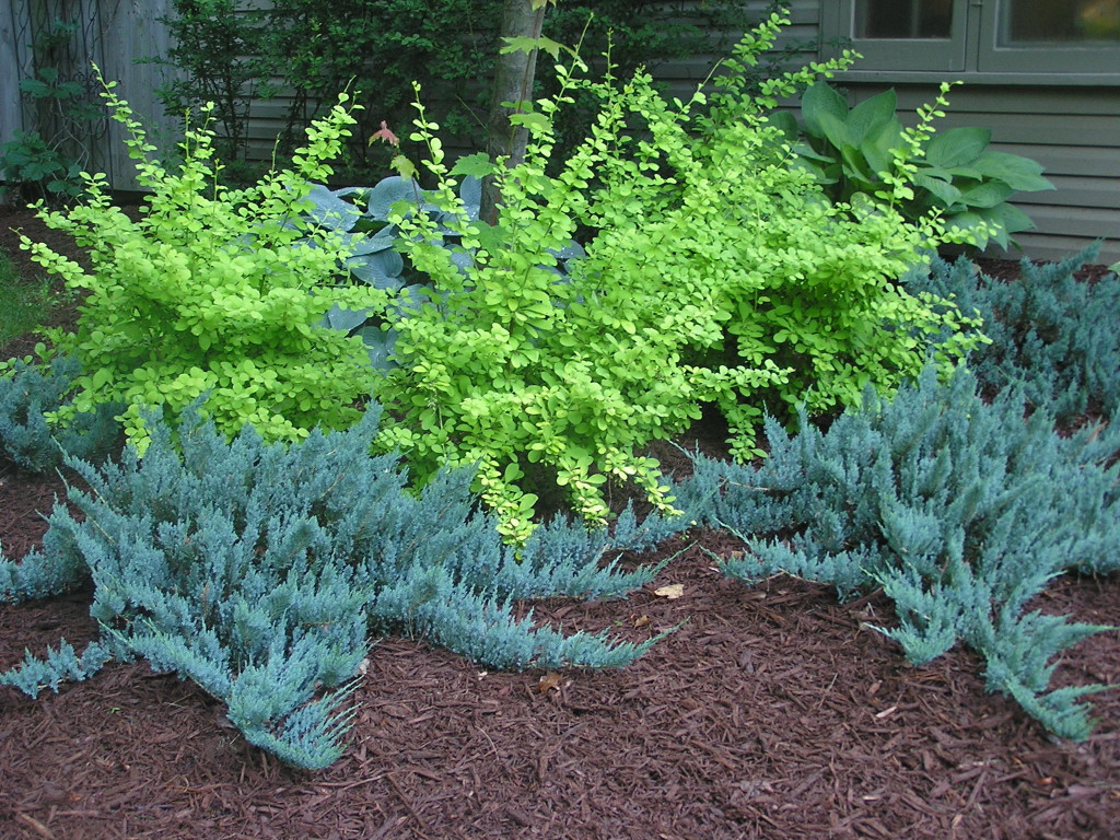 Juniperus hor Blue Chip_3.jpg