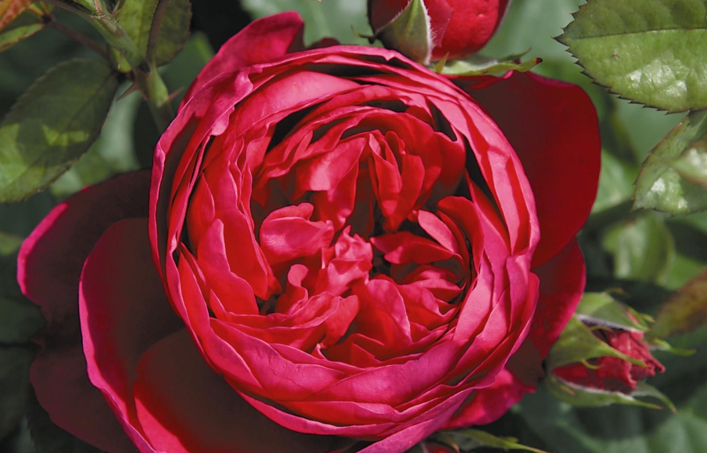 Rosa Ascot_2.jpg