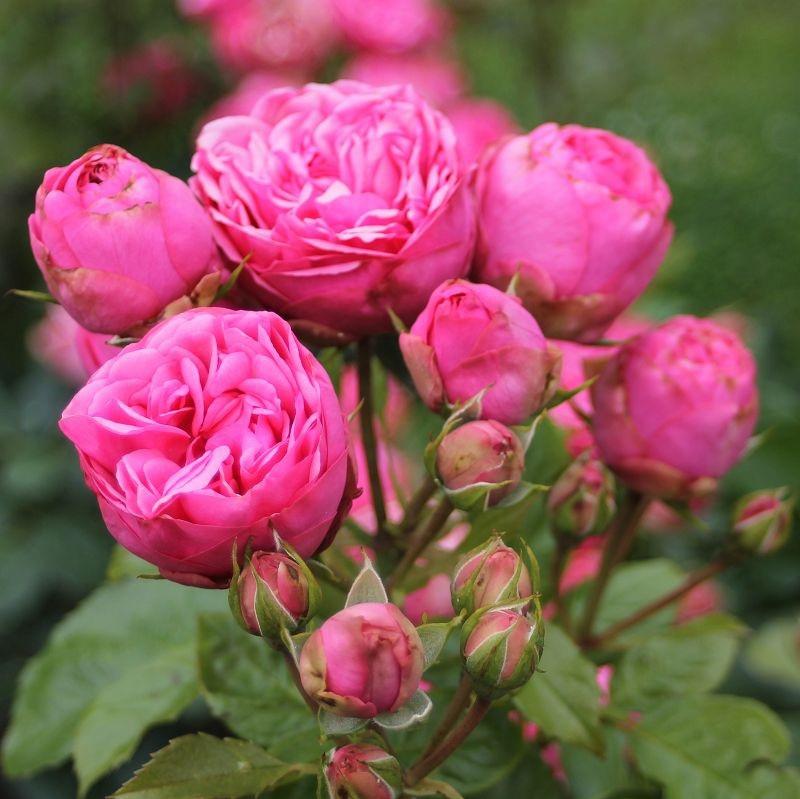 Rosa Pink Piano_2.jpg